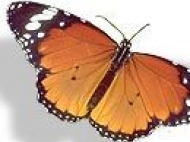живые бабочки