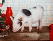 zakazat-svinyu
