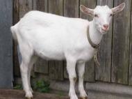 dressirovanye-kozy