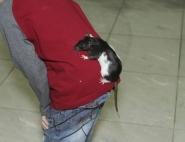 Дрессированная мышка