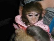 Дрессированная обезьяна