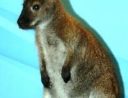 Дрессированный кенгуру