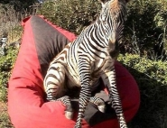 zebra-na-meroprijatie